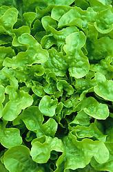 Lettuce 'Green Oak Leaf'