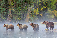 Grizzly bear family, British Columbia, Canada