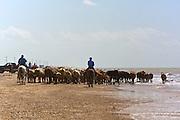 Cattle Drive, High Island, Texas, USA.