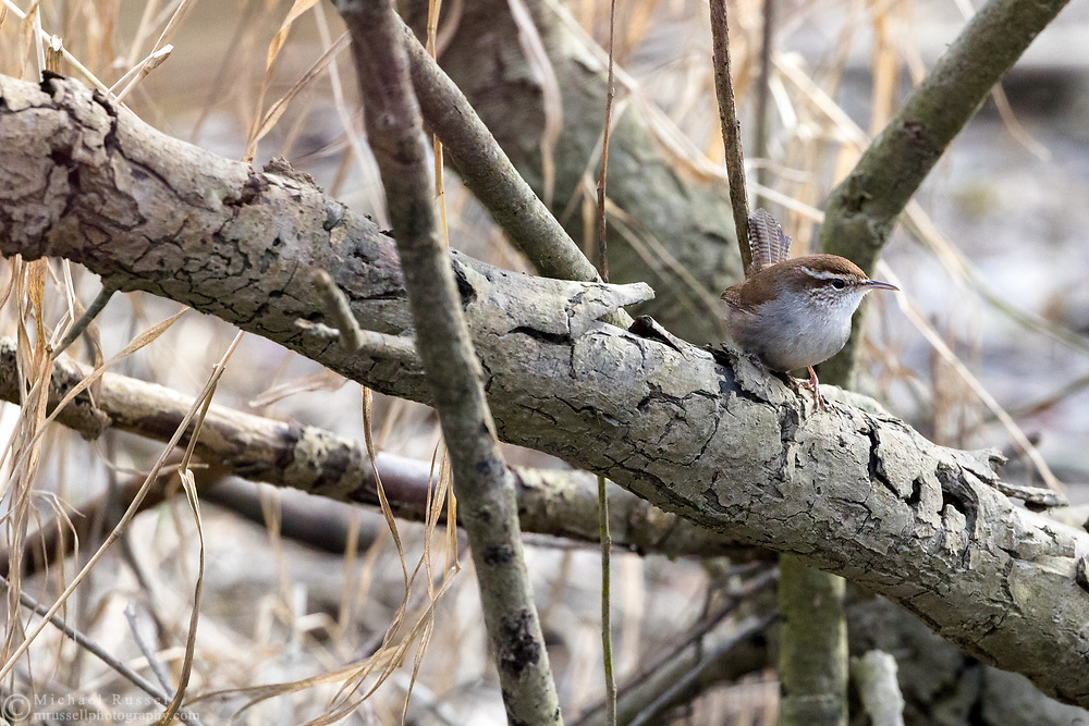 A Bewick's Wren (Thryomanes bewickii) perched on a branch at Ladner Harbour Park in Delta, British Columbia, Canada