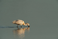 Spoonbill (Platalea leucorodia)<br /> Wetland Reserve<br /> Doñana National & Natural Park. Huelva Province, Andalusia. SPAIN<br /> 1969 - Set up as a National Park<br /> 1981 - Biosphere Reserve<br /> 1982 - Wetland of International Importance, Ramsar<br /> 1985 - Special Protection Area for Birds<br /> 1994 - World Heritage Site, UNESCO.<br /> The marshlands in particular are a very important area for the migration, breeding and wintering of European and African birds. It is also an area of old cultures, traditions and human uses - most of which are still in existance.