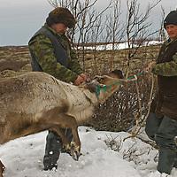North of the Arctic Circle in Russia, Arthum Khantazeski & Vasily Terentev, nomadic Komi reindeer herders, lasso one of their herd to check its health.