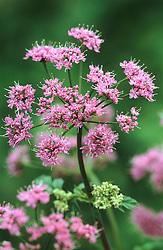 Chaerophyllum hirsutum 'Roseum' syn. 'Rubrifolium'