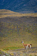 The guanaco (Lama guanicoe) is a camelid native to South America that stands between 1 and 1.2 metres (3 ft 3 in and 3 ft 11 in) at the shoulder and weighs about 90 kg (200 lb). The colour varies very little (unlike the domestic llama), ranging from a light brown to dark cinnamon and shading to white underneath. Guanacos have grey faces and small straight ears. The name guanaco comes from the South American language Quechua word wanaku (old spelling, huanaco). Young guanacos are called chulengo(s). These guanacos were photographed in Torres del Paine, Chile.