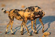 Wild dogs or painted wolves (Lycaon pictus) licking in the inside of each other's mouths - which is a greeting. <br /> Savuti channel, Linyanti region.<br /> BOTSWANA. Southern Africa.<br /> STATUS: ENDANGERED. THEY ARE THE MOST ENDANGERED LARGE CARNIVORE IN AFRICA AND THE SECOND MOST ENDANGERED CANID IN THE WORLD. This is due to habitat distruction, over-hunting and rabies.<br /> HABITAT: Wide tolerance. Prefer to hunt in open plains but then take refuge in wooded areas, often in mopane forests. They are crepuscular (early morning and dusk) and diurnal but will hunt at night during a full moon. <br /> They weigh 25-30 kg's with a shoulder height of 65cm.<br /> Wild dogs are the most successful hunters in the bush and they hunt co-operatively in packs and maintain a speed of 60km p/h for about 5km. Once caught the victim in quickly torn apart and devoured to prevent hyaenas and lions from stealing the carcass. Wild dogs take care of their young and sick and will readily share their food with other pack members. The whole pack helps to raise the young which are born of the dominant pair. (alpha male and female)<br /> They contact rabies from domestic dogs as they often cross through agricultural and rural areas.