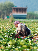 A woman farming Lotus root used in cooking from a shikara, a local wooden boat. Lake Dal, Kashmir, India
