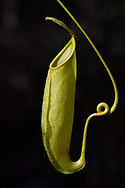 """Carnivorous Nepenthes plant, Misool, Raja Ampat, Western Papua, Indonesian controlled New Guinea, on the Science et Images """"Expedition Papua, in the footsteps of Wallace"""", by Iris Foundation"""