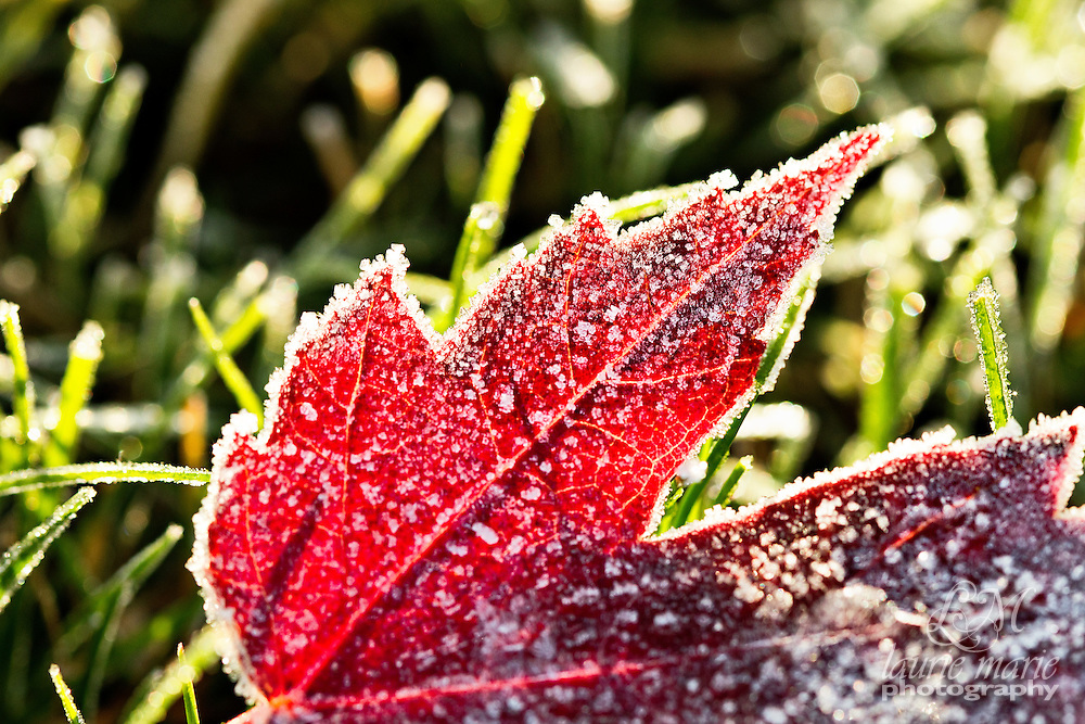 A frost red fall leaf in the morning sun