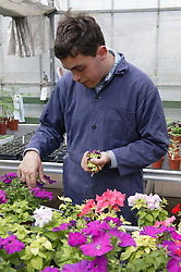 Man with learning disability at work at Brook Farm; Linby; tending to flowers,
