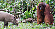 A dominant flanged male orangutan (Pongo pymaeus) and a forest pig at a feeding station face each other, Camp Leakey, Tanjung Puting National Park, Central Kalimantan, Borneo, Indonesia