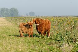 Schotse hooglander, Bos domesticus