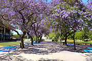 Jacaranda Trees in Full Bloom Line a Walkway on Campus at California State University Fullerton