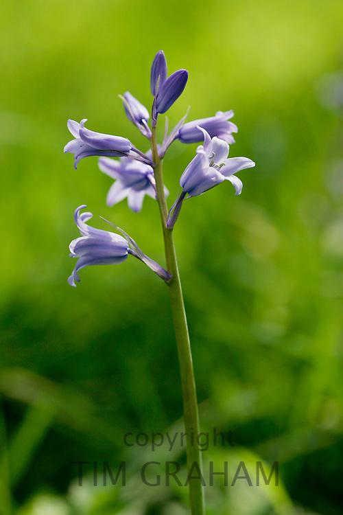 Spanish Bluebells, England