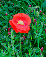 Red or Oriental Poppy flower. Image taken with a Fuji X-T2 camera and 100-400 mm OIS lens.