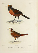 hand coloured sketch Top: Black-throated Huet-huet (Pteroptochos tarnii [Here as Megalonix ruficeps]) Bottom: white-throated tapaculo (Scelorchilus albicollis [Here as Megalonix albicollis]) From the book 'Voyage dans l'Amérique Méridionale' [Journey to South America: (Brazil, the eastern republic of Uruguay, the Argentine Republic, Patagonia, the republic of Chile, the republic of Bolivia, the republic of Peru), executed during the years 1826 - 1833] 4th volume Part 3 By: Orbigny, Alcide Dessalines d', d'Orbigny, 1802-1857; Montagne, Jean François Camille, 1784-1866; Martius, Karl Friedrich Philipp von, 1794-1868 Published Paris :Chez Pitois-Levrault et c.e ... ;1835-1847