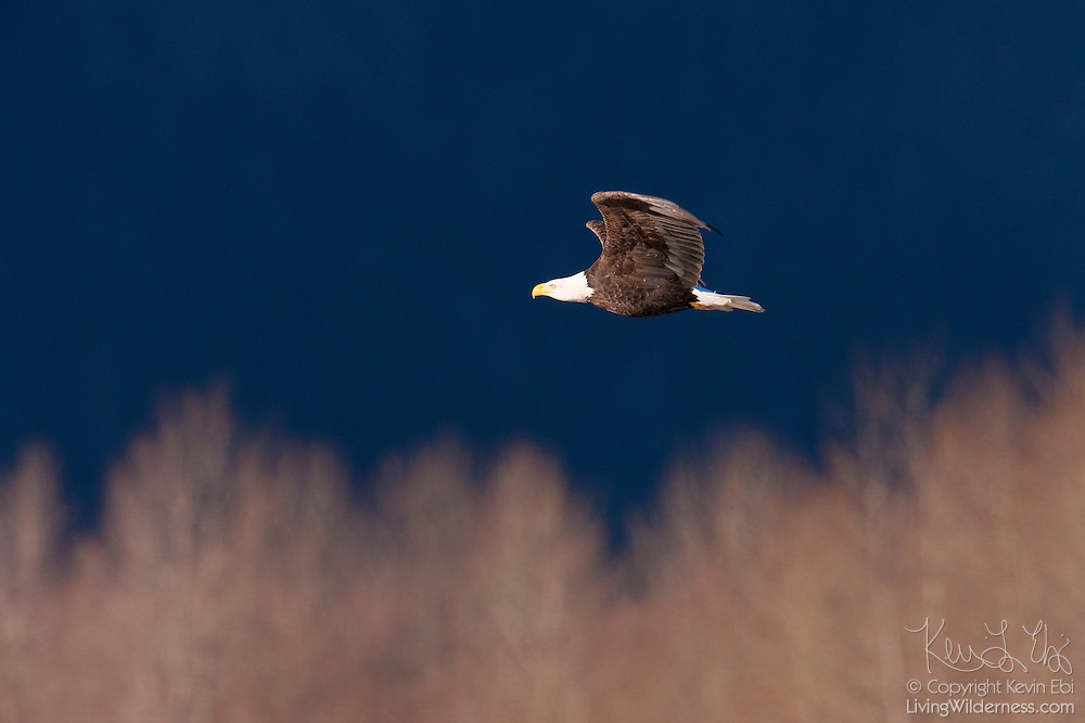 An adult bald eagle (Haliaeetus leucocephalus) flies over the trees along the Squamish River in Brackendale, British Columbia, Canada. Hundreds of bald eagles congregate along the river in winter to feast on spawned-out salmon.