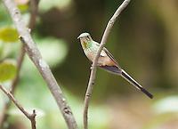 Female black-tailed trainbearer hummingbird, Lesbia victoriae, perched on a branch near Quito, Ecuador