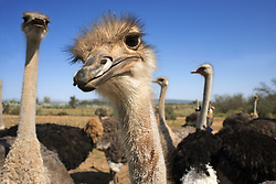 September 30, 2018 - South Africa - Safari ostrich show farm Oudtshoorn, Little Karoo, South Africa, Africa (Credit Image: © Sergi Reboredo/ZUMA Wire)