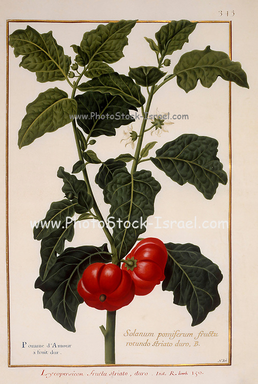 tomato bush, 17th century hand painted on Parchment botany study of a from the Jardin du Roi botanical Florilegium of Prince Eugene of Savoy collection, Paris c. 1670 artist: Nicolas Robert