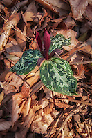 Detail photograph of the leaves of a flowering spotted triliium, seen here growing in a hardwood forest in southern Georgia. Slightly different from its endangered cousin - the confederate trillium - this one grows fairly high about the fallen leaves of the early spring forest floor.