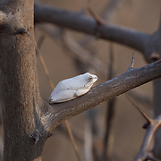 Grey foam-nest tree frog in an acacia bush, Londolosi Game Reserve, South Africa.