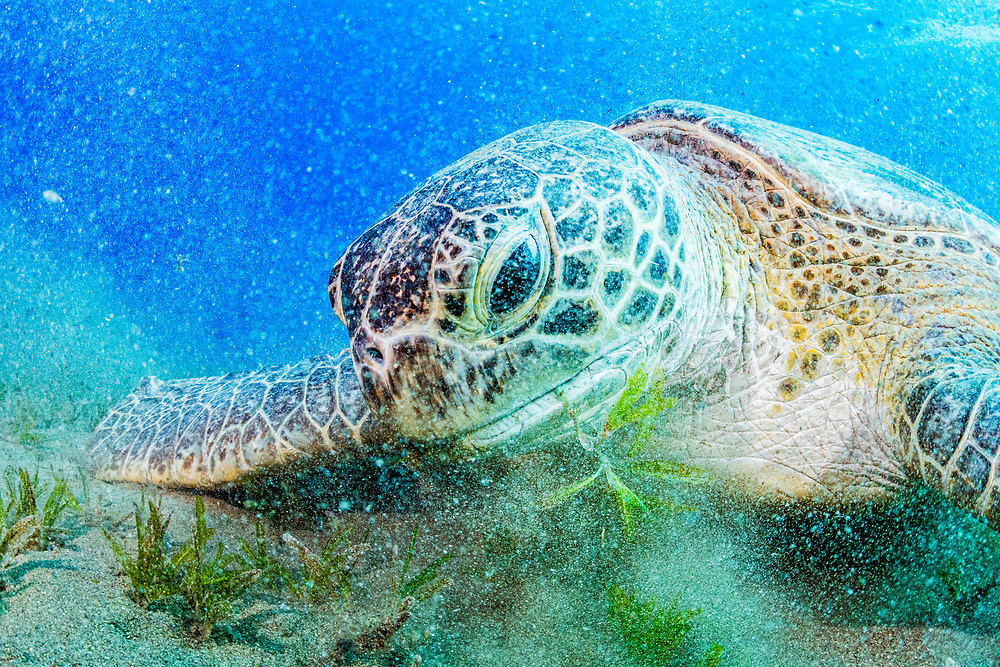 a green turtle (Chelonia mydas) makes a mess feeding on seagrass (halophila stipulacea) off Marsa Alam, Egypt in the Red Sea.