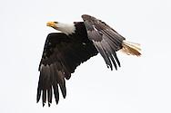 An adult Bald Eagle (Haliaeetus leucocephalus) flies at Big Beef Creek near the Hood Canal of Puget Sound, Washington, USA