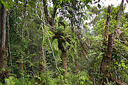 Basket ferns, Epiphytes, on tree in Barron Gorge National Park, Queensland, Australia