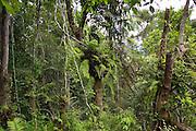 Basket ferns, Epiphytes, on tree in Barron Gorge National Park, Queensland, Australia