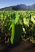 Taro field, Hanalei, Kauai, Hawaii<br />