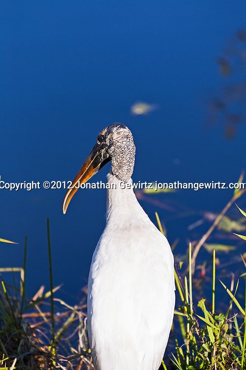A Wood Stork on the bank of a canal in Everglades National Park, Florida. WATERMARKS WILL NOT APPEAR ON PRINTS OR LICENSED IMAGES.