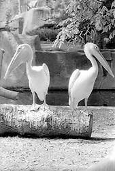Pelicans on display at the Parc Zoologique de Paris in the Bois de Vincennes, Tuesday, June 10, 1984, in Paris. (Photo by D. Ross Cameron)