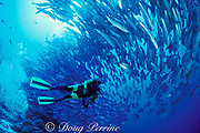 diver and swirling tornado of bigeye jacks, Caranx sexfaciatus, Layang Layang Atoll, Malaysia ( South China Sea ) MR 264