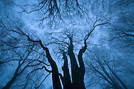 Tree canopy in winter, Felbrigg Woods, Norfolk, UK