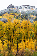 Narrowleaf Cottonwood after First Snowfall in the Uncompahgre Mountains, Uncompahgre National Forest, Colorado