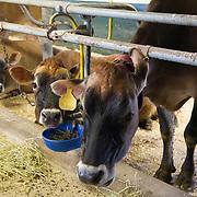Cows feeding in the barn
