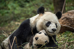 A 14 year old panda named YeYe holds her young cub at Wolong Giant Panda reserve. The mother is captive born and her baby is being trained to be released back into the wild. Thanks to hunting and the destruction of their natural habitat, there are now only an estimated 1,600 giant pandas left in the wild.