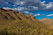 Saguaro Cactus in the Santa Catalina Mountains in Coronado National Forest in Tucson, Arizona, USA