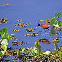 South America, Brazil, Pantanal. The Wattled Jacana wading the shores of a lake in the Pantanal.