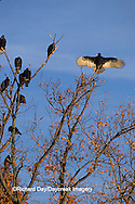 00780-00805 Turkey Vultures (Cathartes aura) in trees Marion Co.   IL