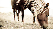 A Shetland Pony at Penhale Sands, Special Area of Conservation (SAC), as part of conservation grazing project.