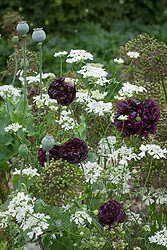 Double black poppy with Orlaya grandiflora