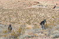 These 2 wild burros were grazing near Beatty, Nevada.