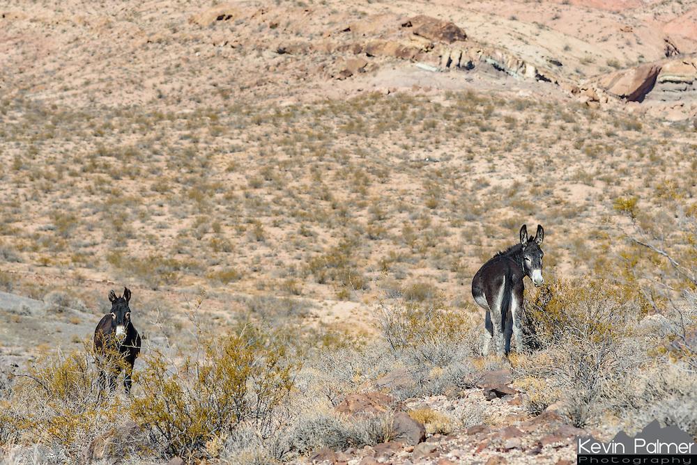 These 2 wild burros were grazing near Beatty, Nevada.