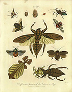 Different species of Cimex bugs and insects, Handcolored copperplate engraving From the Encyclopaedia Londinensis or, Universal dictionary of arts, sciences, and literature; Volume IV;  Edited by Wilkes, John. Published in London in 1810