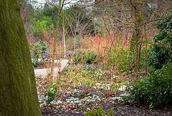 The Winter Garden at Dunham Massey. Planting includes Iris 'Katharine Hodgkin' (Reticulata) and Cornus sanguinea 'Midwinter Fire'