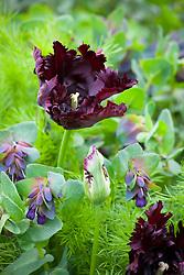 Tulipa 'Black Parrot' with Cerinthe major 'Purpurascens' -Honeywort -  and nigella foliage