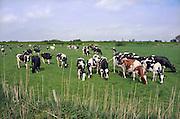 Nederland, Ubbergen, 10-5-2012Koeien in de wei op een zonnige dag in de Ooijpolder.Foto: Flip Franssen/Hollandse Hoogte