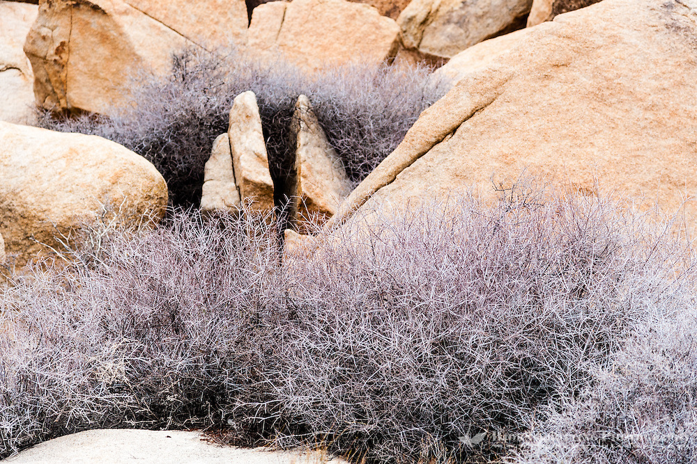 United States, California, Joshua Tree National Park. Bushes at Hall of Horrors.