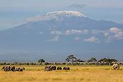 A breeding herd of elephants  (Loxodonta africana) walking across the plains beneath the majestic snow covered Mount Kilimanjaro ,Amboseli, Kenya, Africa